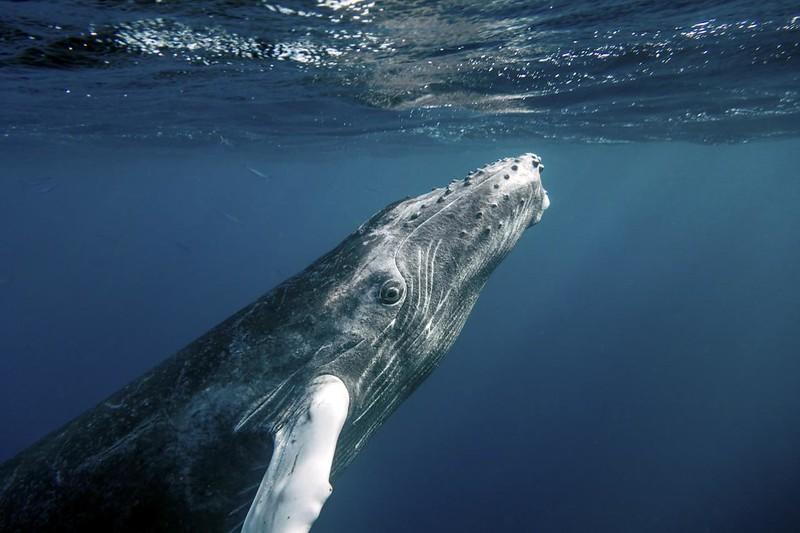 2,5 тонны пищи каждый день: охотничьи трюки китов