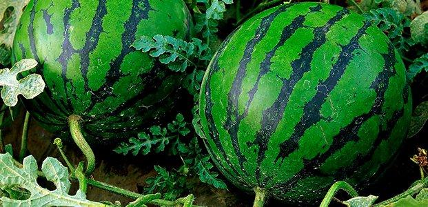 Арбуз – посадка, уход и выращивание