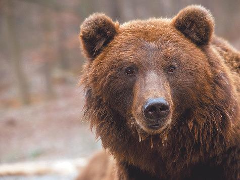 Медведь преследовал охотника после тяги