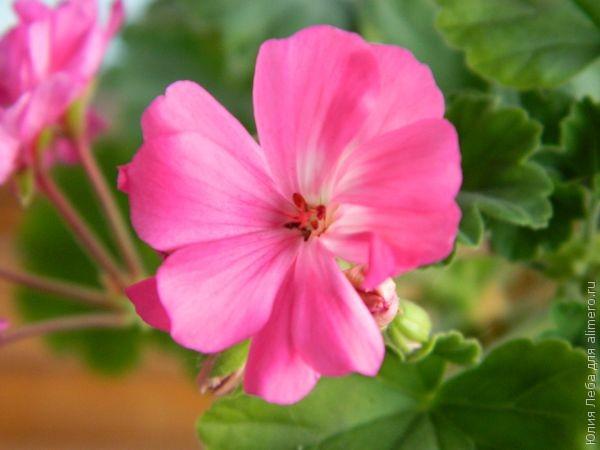 Уход за цветущей геранью (пеларгонией)