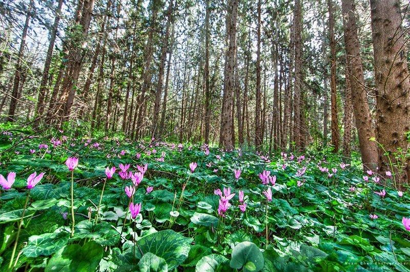 Лес с цикламенами, центральная часть Израиля Израиль, красиво, красивые места, природа, страны, страны мира, фото, фотограф