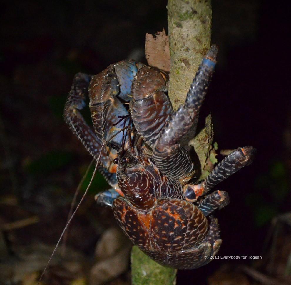 Coconutcrab17 Самый крупный представитель членистоногих, кокосовый краб!