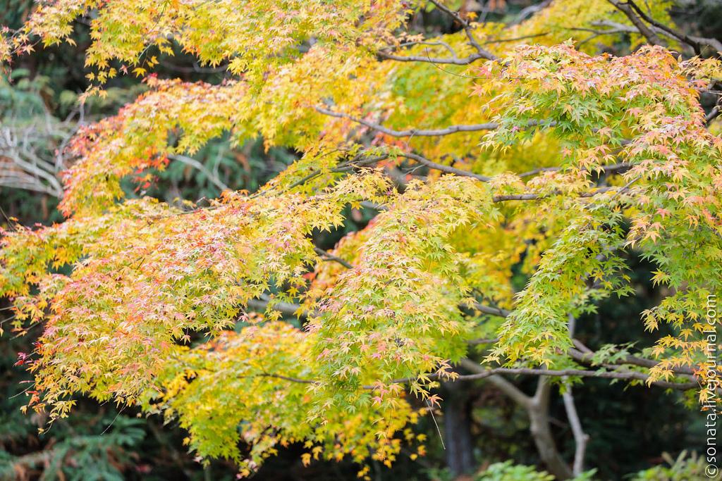 268 Клёны в ботаническом саду Кобе