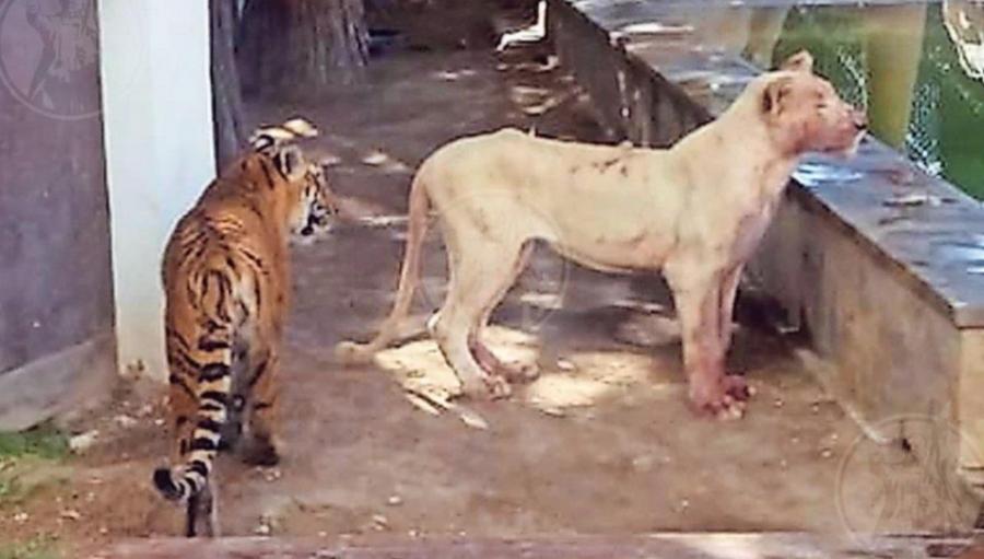 Не обижайте львов