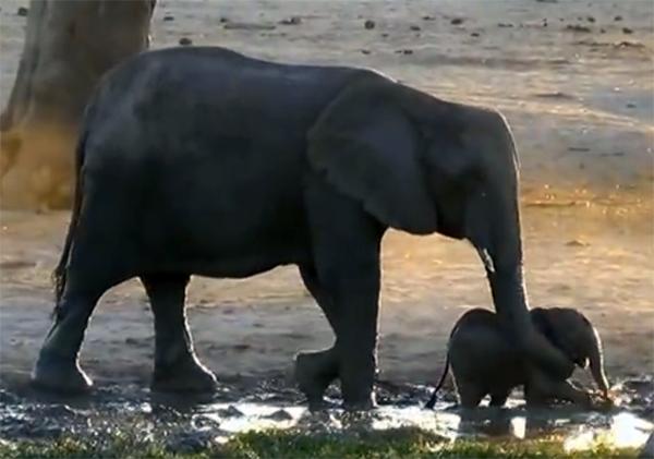 Слониха решила, что малышу хватит плескаться, но вот у слоненка совсем другие планы!