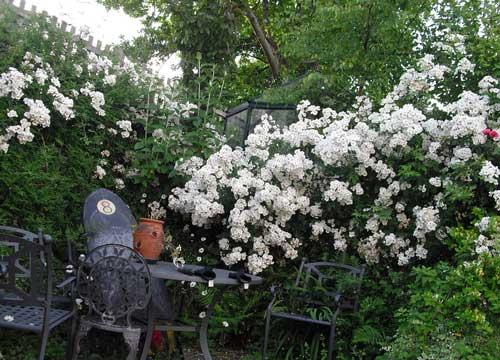 Как сделать живую изгородь из роз