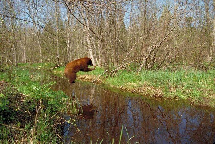 медведь в прыжке