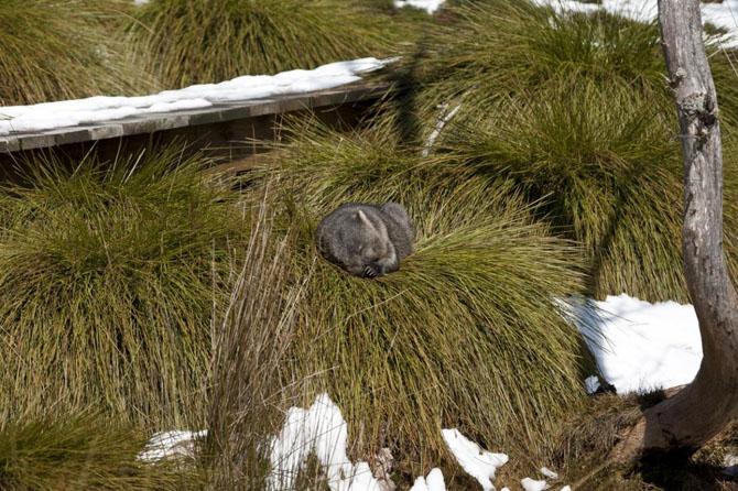 Вомбаты - «мини-медведи» Австралии