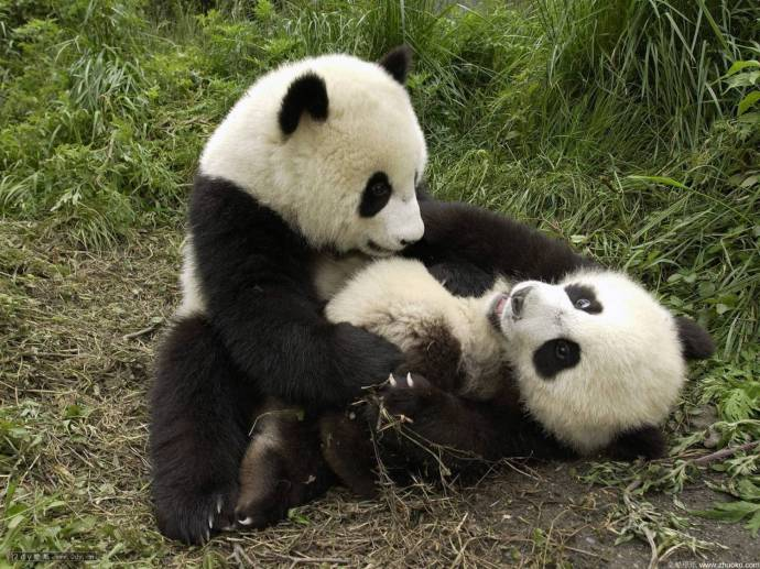 Почему пандам так сложно размножаться?