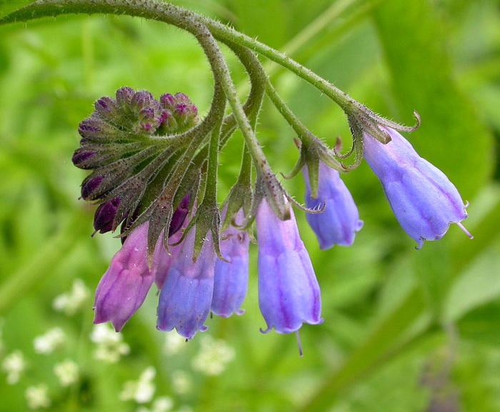 Окопник – очень полезное растение