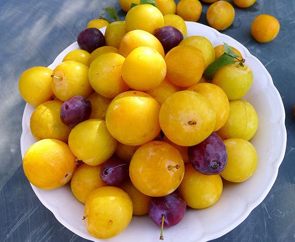 МИР РАСТЕНИЙ. Белая, медовая и другие сорта желтой сливы
