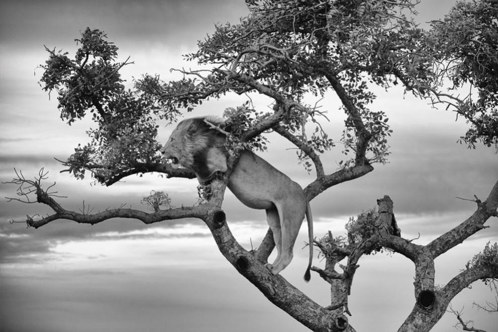 Leão em uma árvore