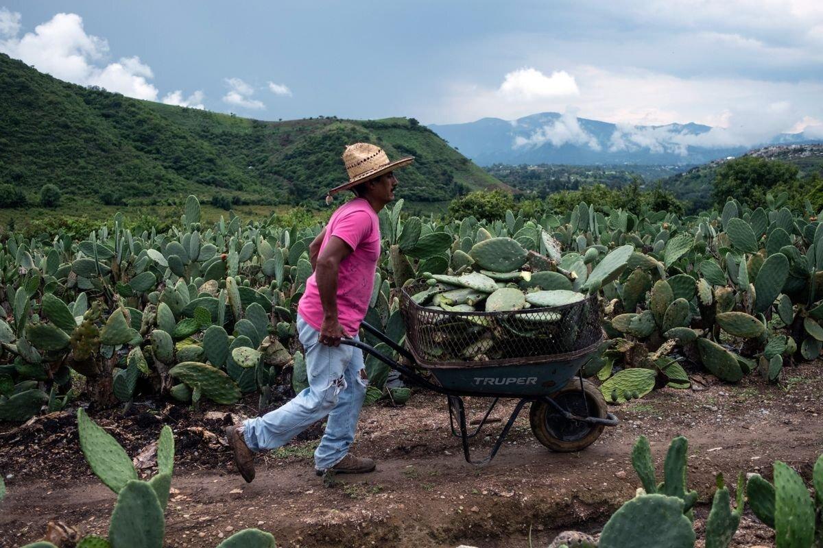 Истребитель коров, приправа для мяса, и другие факты о кактусах