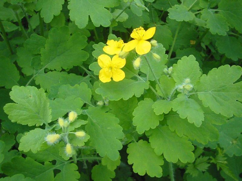Какие растения используют для лечения ран ожогов