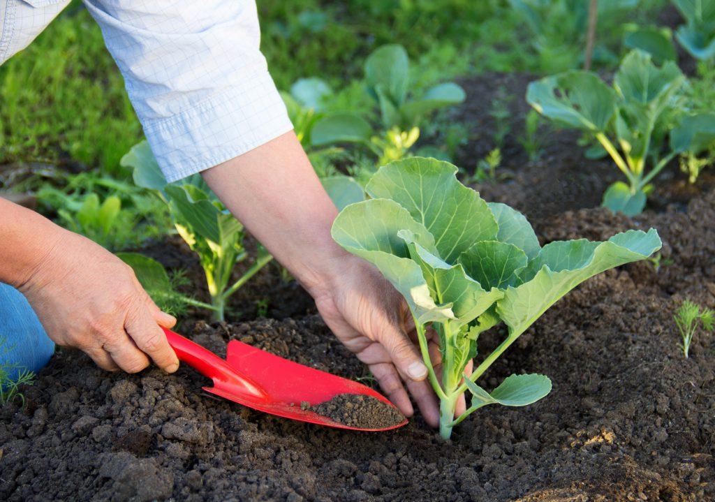 Выращивание капусты на дернине: процесс от А до Я