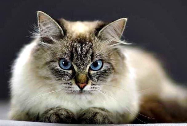 Нежно-васильковый взгляд невской кошки примирит с жизнью даже самого опечаленного человека!