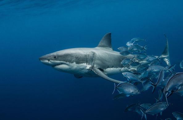 Охоту большой белой акулы засняли от первого лица