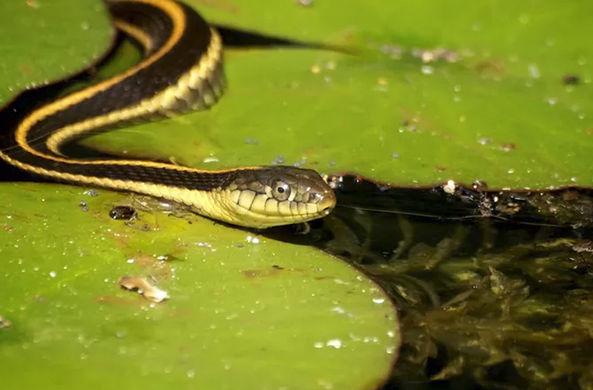 Надевшая рыбью голову змея попала на видео