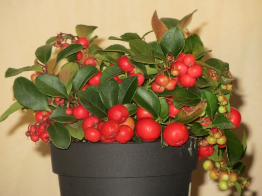 Гаультерия лежачая - интересное растение для украшения балкона или сада