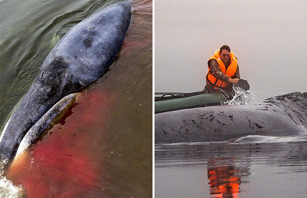 Дорога домой: спасатели помогли застрявшему на речной мели в Хабаровском крае киту вернуться в море