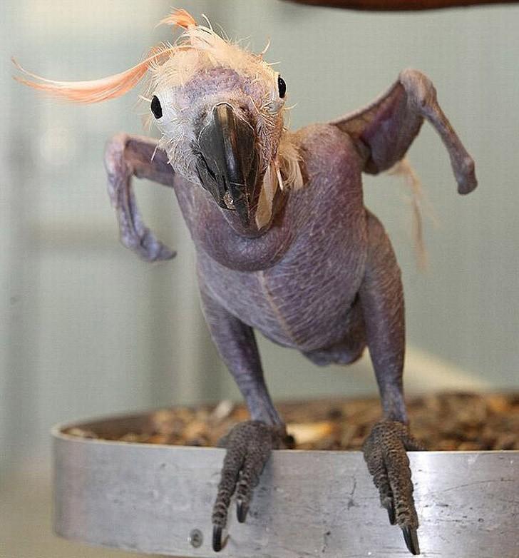 baldanimals02 Забавное и странное зрелище: облысевшие животные