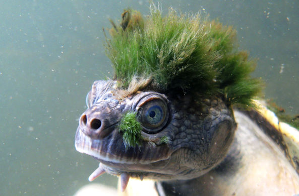 Зеленоволосая черепаха, которая дышит гениталиями, оказалась на грани исчезновения