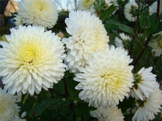 Ах. Как прелестны эти хризантемы. (Эдельвейс 7) - МыПишем.ру