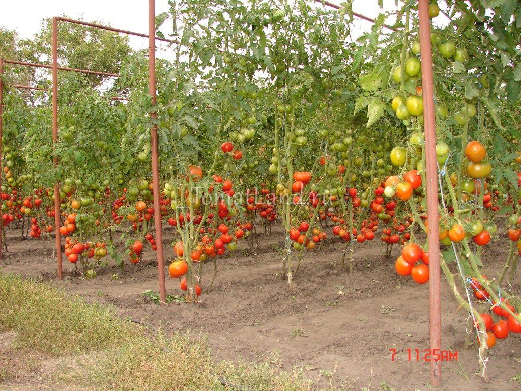 5 способов подвязки помидоров