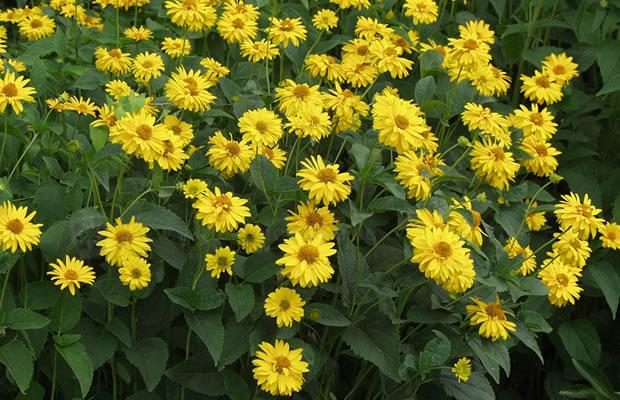 Heliopsis helianthoides var. scabra 'Sommersonne' - Sonnenau…
