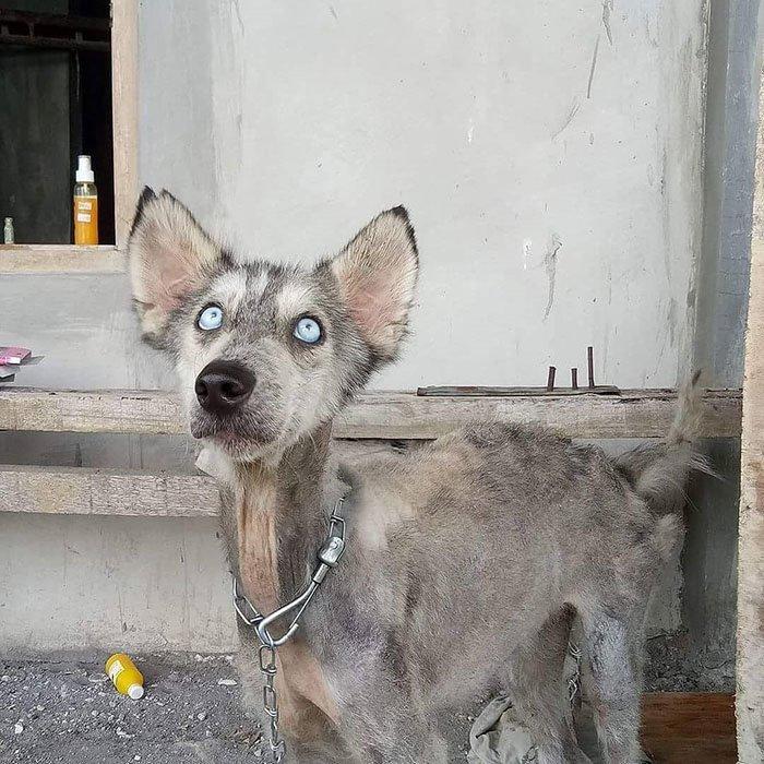 Рико знал, что должен помочь ей бали, животные, история, собака, спасение, фото, хаски
