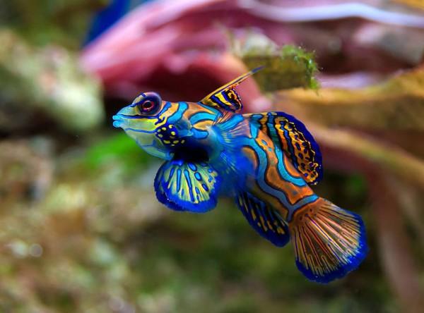 Рыбка-мандаринка