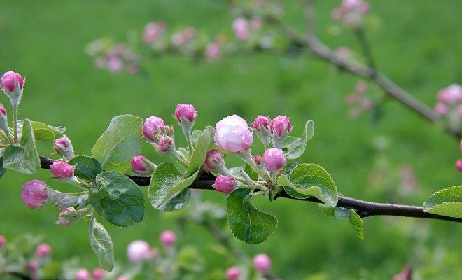 : яблоня цветет