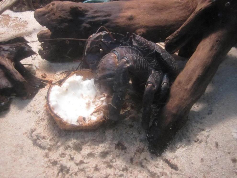 Coconutcrab32 Самый крупный представитель членистоногих, кокосовый краб!