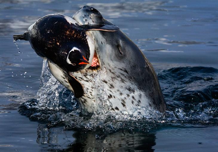 Морской леопард поймал пингвина