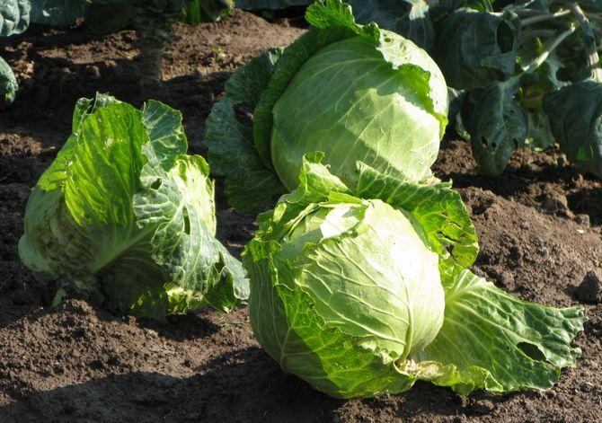 Чем порадовать царицу огорода? Подкормки капусты белокочанной