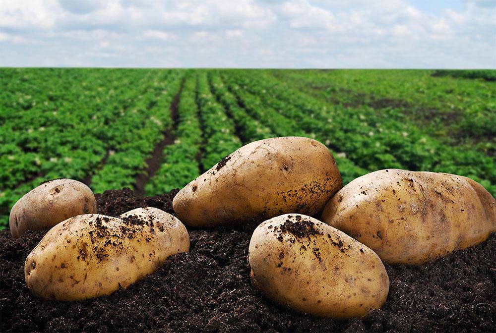 Урожайная тройка, или какие сорта картофеля показали себя лучше всех