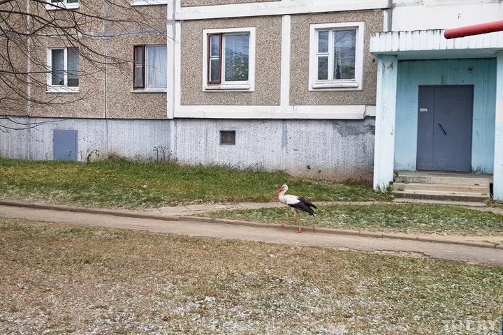 На улице в Минске зимует аист. Местные не знают, что с ним делать