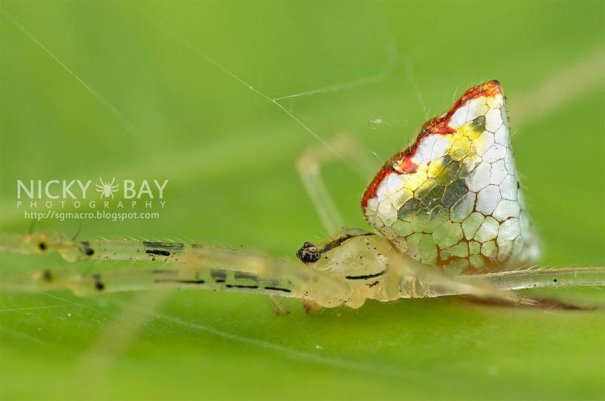 mirror-spider-thwaitesia-argentiopunctata-2
