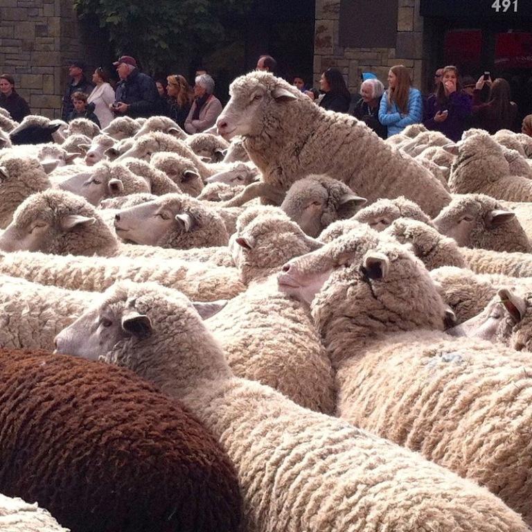 terraoko 2015012702 1 Праздник Трейлинг овец в Айдахо.