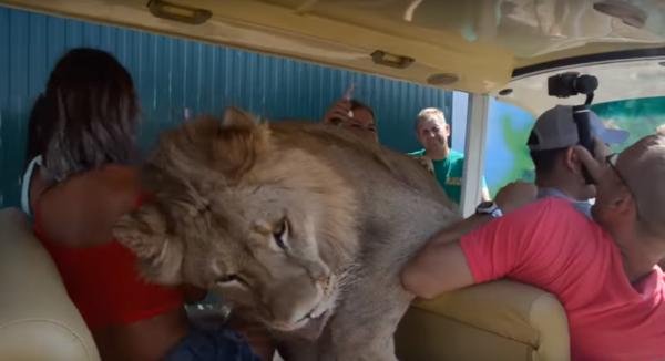 В Крыму лев залез в машину к туристам
