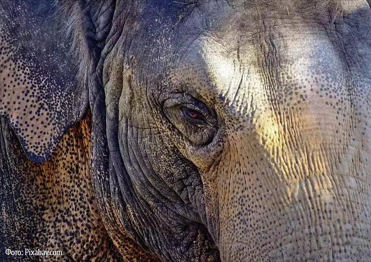 Как люди помогают  слонам в беде.