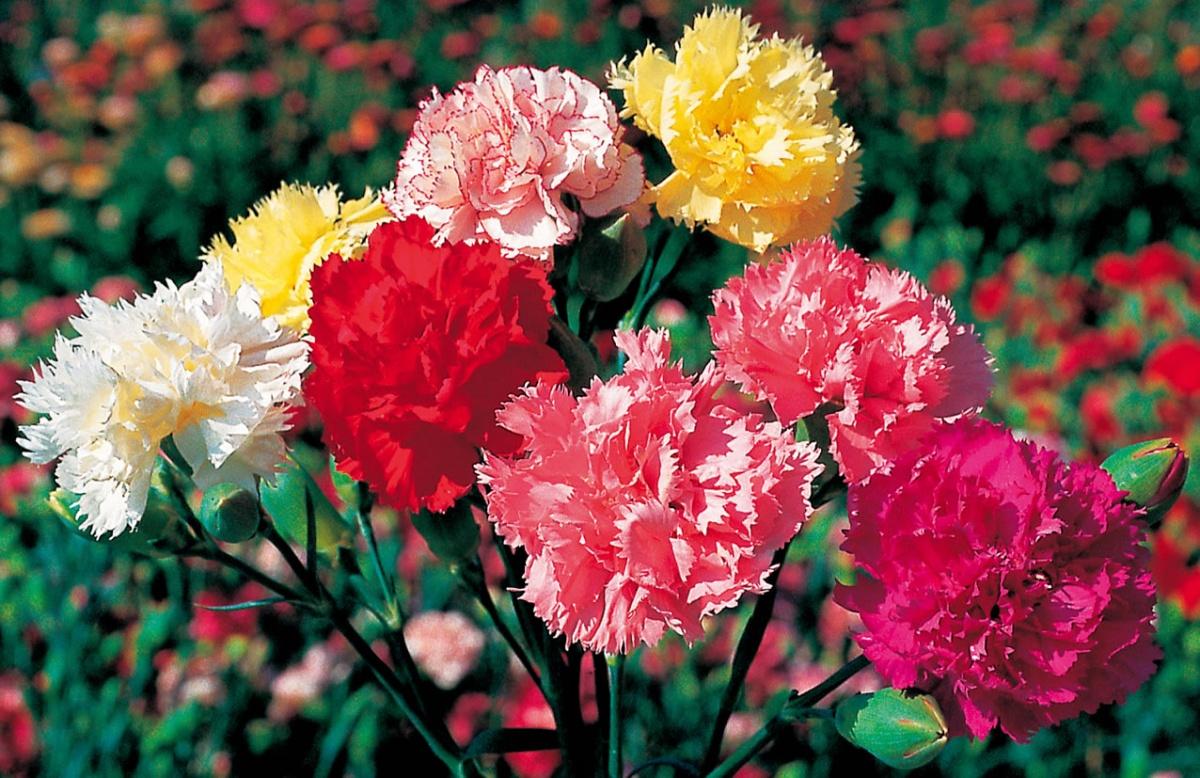 Гвоздика цветок с для сада
