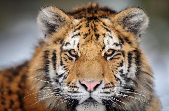 Голодная и раненая тигрица пришла к людям просить о помощи