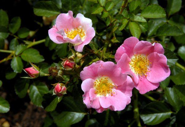 Витаминный шиповник — природный лекарь на вашем огороде