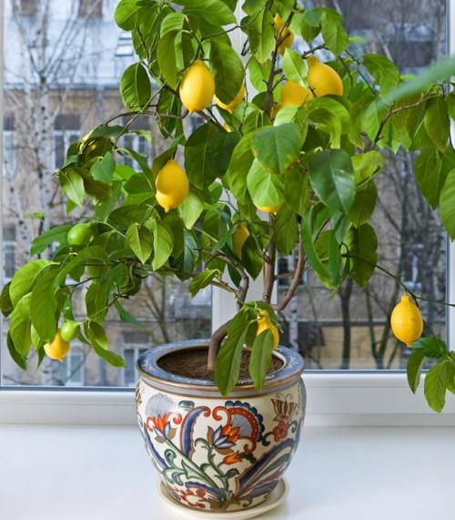 Lemon-Tree-FGT-crop