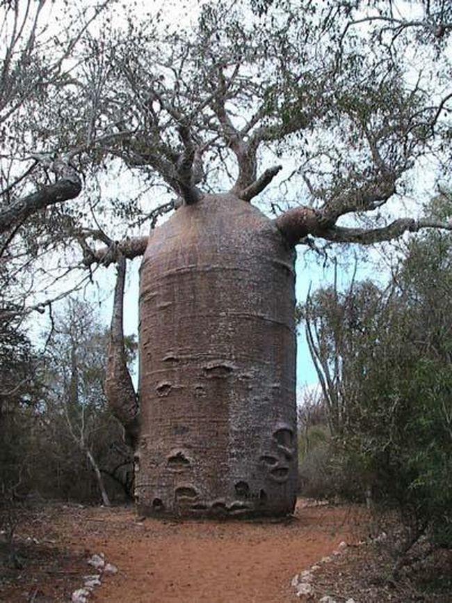 Ну и, наконец, баобаб… Это удивительное дерево достигает 30 метров в высоту и 11 метров в ширину…Раздутый ствол – вместилище для воды - баобаб может хранить целых 120 000 литров воды, чтобы вынести резкие условия засухи…