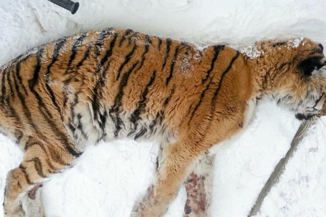 Измученная тигрица со сломан…