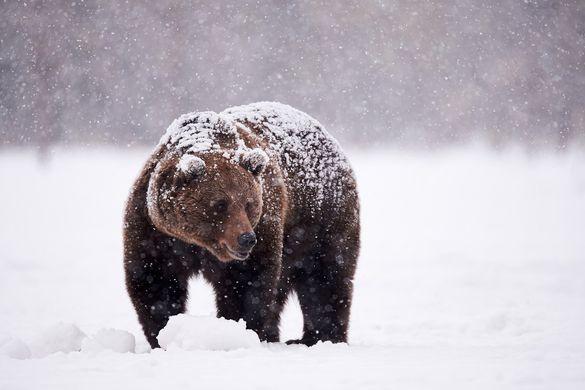 Камчатский медведь Жрун отказался залечь в зимнюю спячку