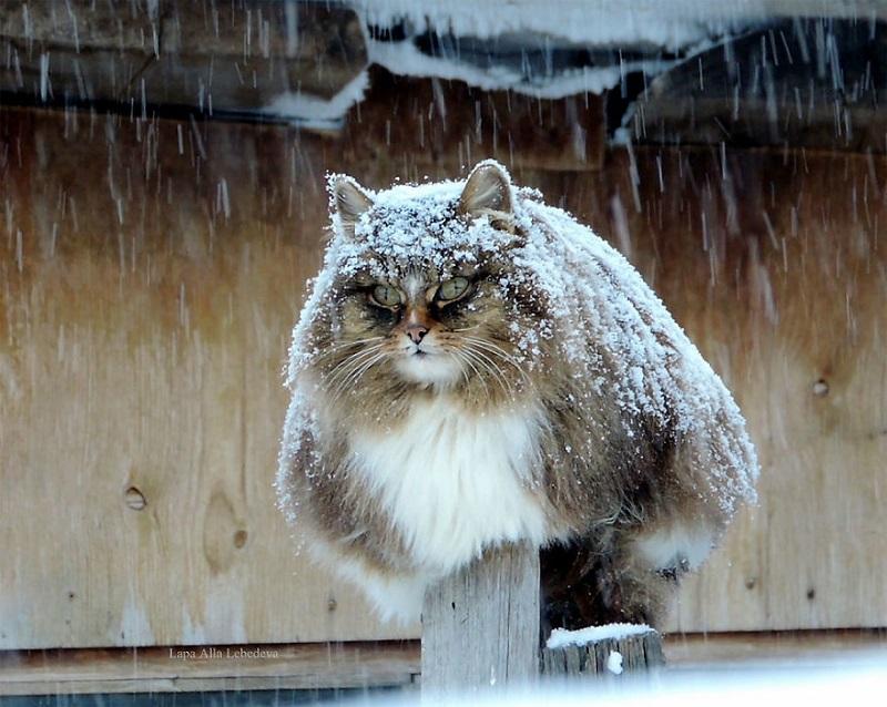 Сибирская Кошляндия покоряет Интернет. Вот где живут самые суровые коты на свете.