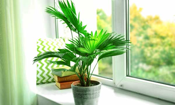 Пальма ливистона — выращивание в домашних условиях